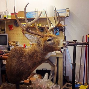 My taxidermist posted this on Facebook.  Here he is right after he got him mounted.  Can't wait to see it finished.